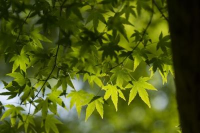 soku_32525.jpg :: 植物 草葉 新緑 紅葉 もみじ