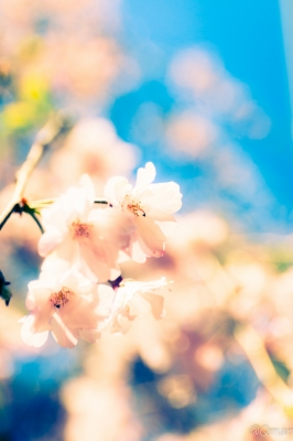 soku_32528.jpg :: 植物 花 桜 サクラ ハイキー