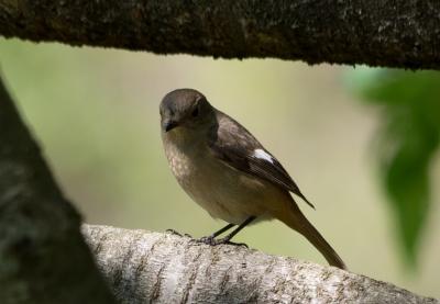 soku_32545.jpg :: 動物 鳥 野鳥 自然の鳥 ジョウビタキ