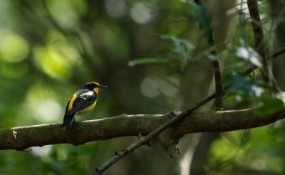 soku_32552.jpg :: 動物 鳥 野鳥 自然の鳥 キビタキ