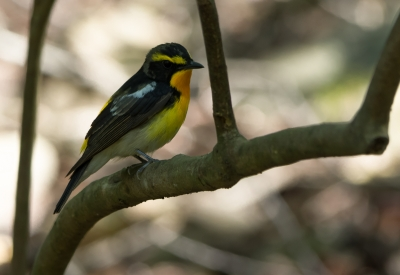 soku_32553.jpg :: 動物 鳥 野鳥 自然の鳥 キビタキ