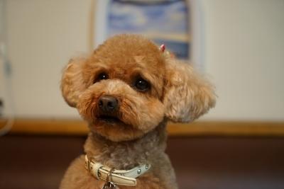 soku_32555.jpg :: 動物 ペット 犬 プードル