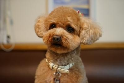 soku_32556.jpg :: 動物 ペット 犬 プードル