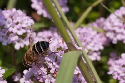 soku_32572.jpg :: 植物 花 ピンクの花 動物 虫 昆虫 蜂 ハチ
