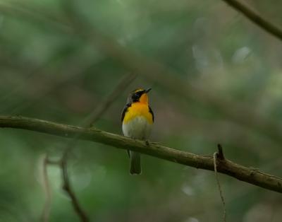 soku_32590.jpg :: 動物 鳥 野鳥 自然の鳥 キビタキ