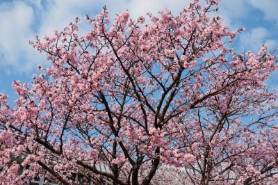 soku_32591.jpg :: KODAK ポートラ 植物 花 桜 サクラ 満開