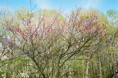 soku_32592.jpg :: KODAK ポートラ 植物 花 桜 サクラ 葉桜