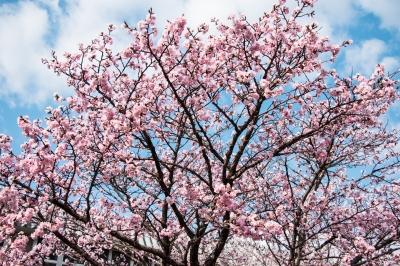 soku_32593.jpg :: KODAK ポートラ 植物 花 桜 サクラ 満開