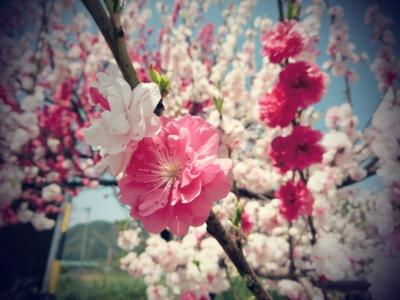 soku_32606.jpg :: 花桃 風景 植物 花