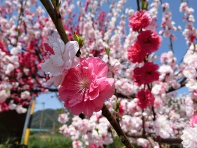 soku_32607.jpg :: 花桃 風景 植物 花