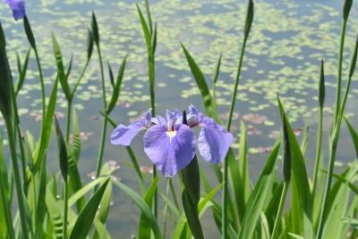 soku_32612.jpg :: 栃木県 なかがわ水遊園 植物 花 紫の花