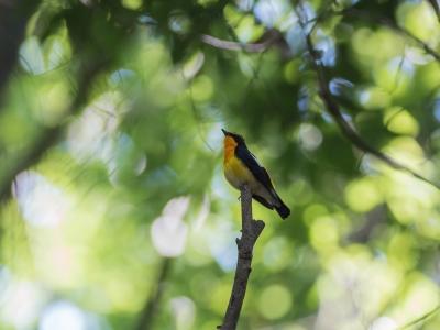 soku_32625.jpg :: 動物 鳥 野鳥 自然の鳥 キビタキ