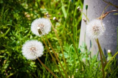 soku_32629.jpg :: 植物 草葉 雑草 タンポポ わたげ