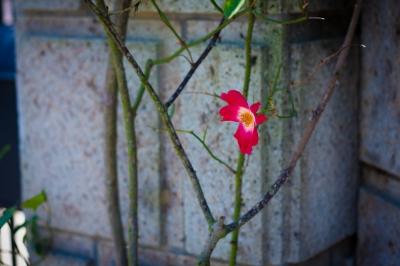 soku_32647.jpg :: 植物 花 ピンクの花