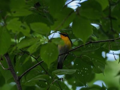 soku_32650.jpg :: 動物 鳥 野鳥 自然の鳥 キビタキ 若