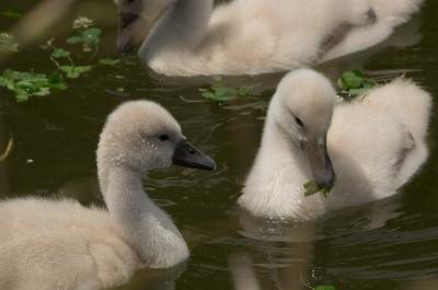 soku_32663.jpg :: 動物 鳥 野鳥 自然の鳥 コブハクチョウ 雛
