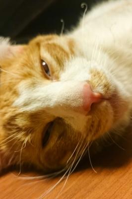 soku_32708.jpg :: 動物 哺乳類 猫 ネコ 元野良猫 ロミー 眠い 人工知能 waifu2x-converter にて二倍に拡大 変換に一時間以上 発展途上 org:soku_32637.jpg