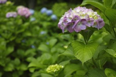 soku_32739.jpg :: 植物 花 紫陽花 アジサイ