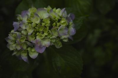 soku_32741.jpg :: 植物 花 紫陽花 アジサイ