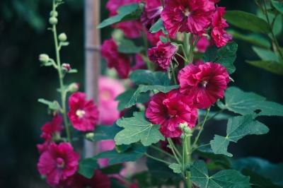 soku_32751.jpg :: 植物 花 Sonnar T* 135mm F1.8 ZA SAL135F18Z