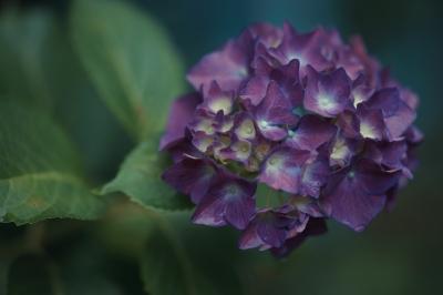 soku_32753.jpg :: 植物 花 Sonnar T* 135mm F1.8 ZA SAL135F18Z