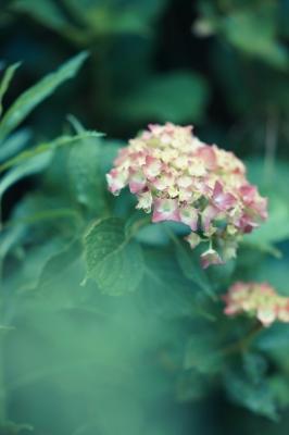 soku_32755.jpg :: 植物 花 Sonnar T* 135mm F1.8 ZA SAL135F18Z