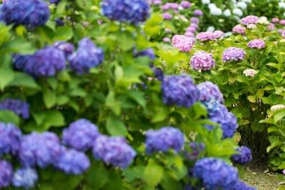 soku_32759.jpg :: 植物 花 紫陽花 アジサイ