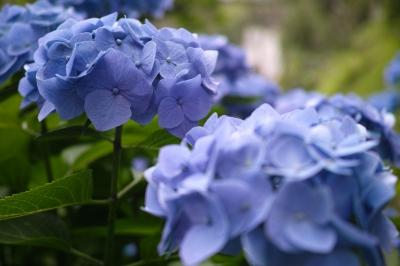 soku_32771.jpg :: 植物 花 紫陽花 アジサイ