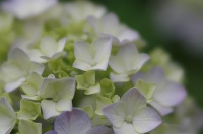 soku_32773.jpg :: 植物 花 紫陽花 アジサイ