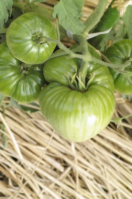 soku_32783.jpg :: SD1 マクロ トマト 野菜 家庭菜園