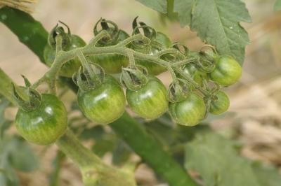 soku_32785.jpg :: SD1 マクロ トマト 野菜 家庭菜園