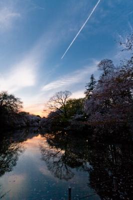 soku_32792.jpg :: 井の頭公園 桜 夕焼け 飛行機雲