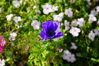 soku_32797.jpg :: 植物 花 紫の花