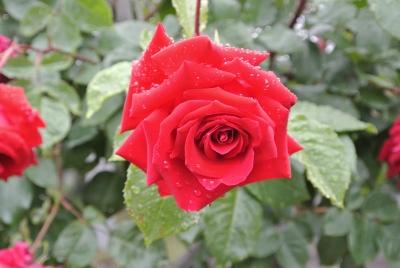 soku_32800.jpg :: 植物 花 薔薇 バラ 赤い花