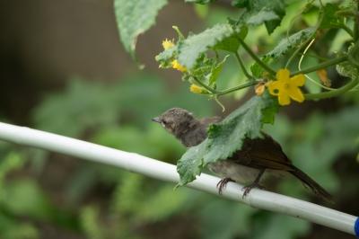soku_32814.jpg :: 動物 鳥 野鳥 自然の鳥 ヒヨドリ