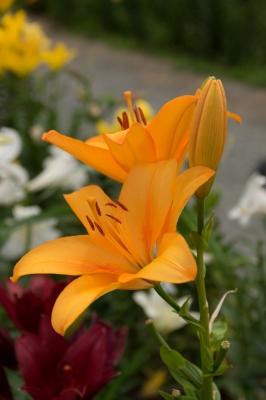 soku_32817.jpg :: 植物 花 ユリ