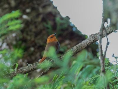 soku_32869.jpg :: 動物 鳥 野鳥 自然の鳥 コマドリ