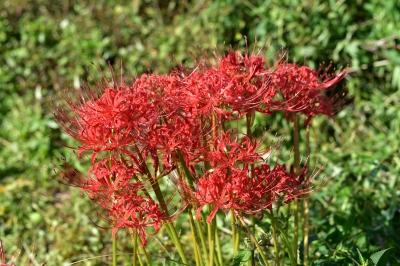 soku_32870.jpg :: 植物 花 彼岸花 ヒガンバナ