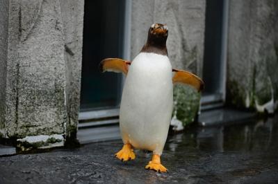 soku_32900.jpg :: D800E 70-200 動物 鳥 ペンギン