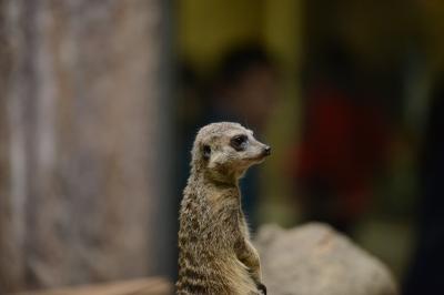 soku_32902.jpg :: D800E ミーアキャット 動物 哺乳類