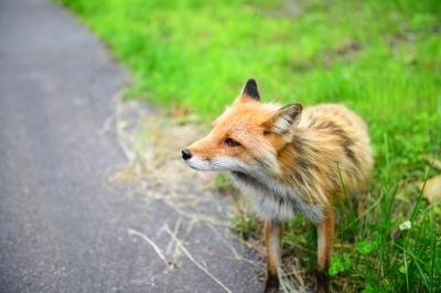 soku_32910.jpg :: D800E キタキツネ 動物 哺乳類 狐 キツネ