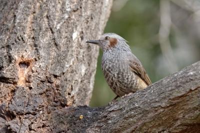 soku_32944.jpg :: D800E 150-600 動物 鳥 ヒヨドリ
