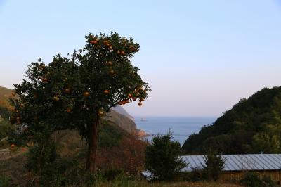 soku_32982.jpg :: 植物 樹木 広葉樹 みかん