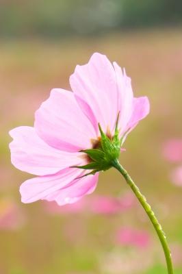 soku_33045.jpg :: 植物 花 ピンクの花 コスモス