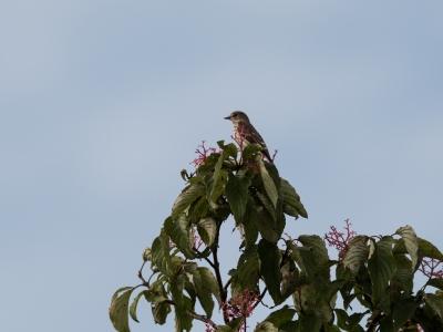 soku_33060.jpg :: 動物 鳥 野鳥 自然の鳥 エゾビタキ 秋の渡り