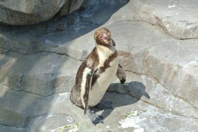 soku_33070.jpg :: 水族館 ペンギン