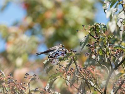soku_33077.jpg :: 動物 鳥 野鳥 自然の鳥 エゾビタキ 秋の渡り ミズキ 実