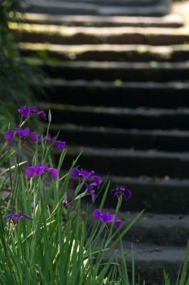 soku_33124.jpg :: 階段 植物 花 紫の花