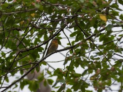 soku_33140.jpg :: 動物 鳥 野鳥 自然の鳥 ムギマキ ツルマサキ