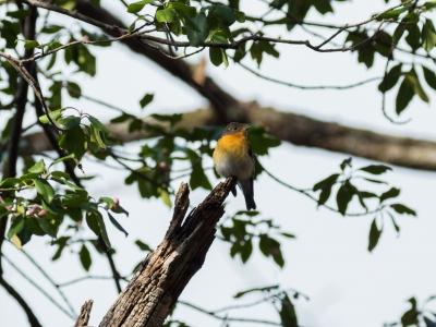 soku_33154.jpg :: 動物 鳥 野鳥 自然の鳥 ムギマキ 旅鳥 ツルマサキ
